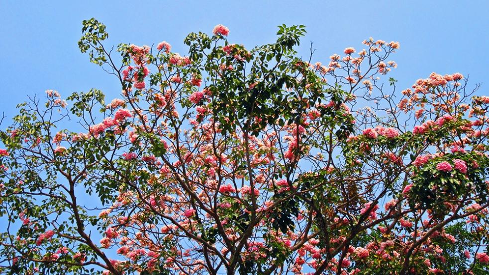Árbol floral en Trang