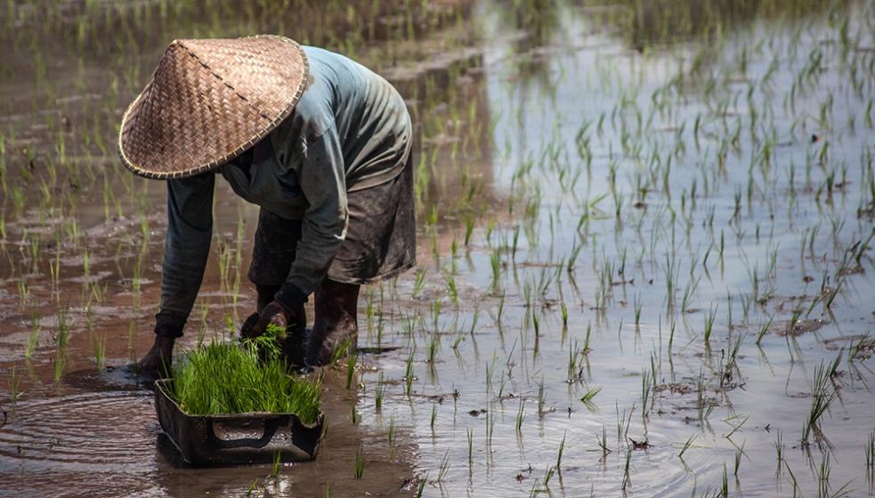 Trabajadores en arrozales de Ubud
