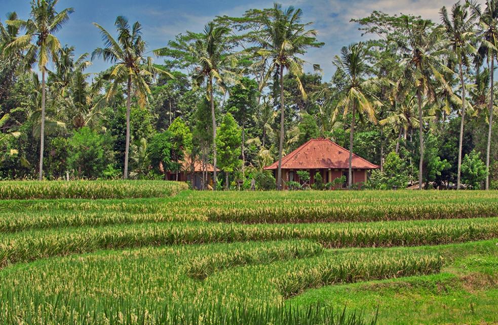 Arrozales en Ubud, Bali