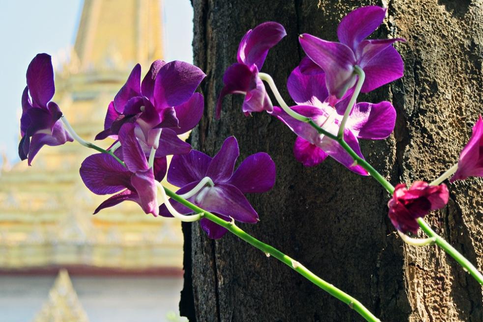 Orquídeas tailandesas