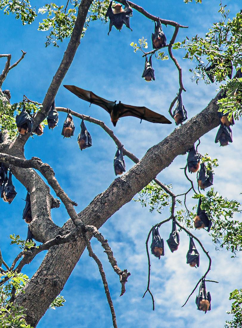 Zorros voladores o murciélagos de la fruta