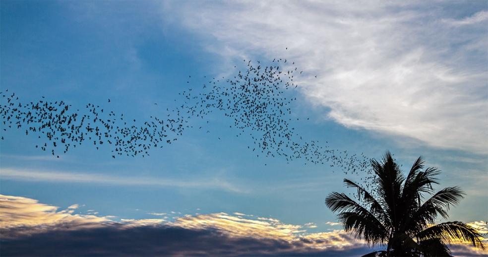 Murciélagos en Battambang, Camboya