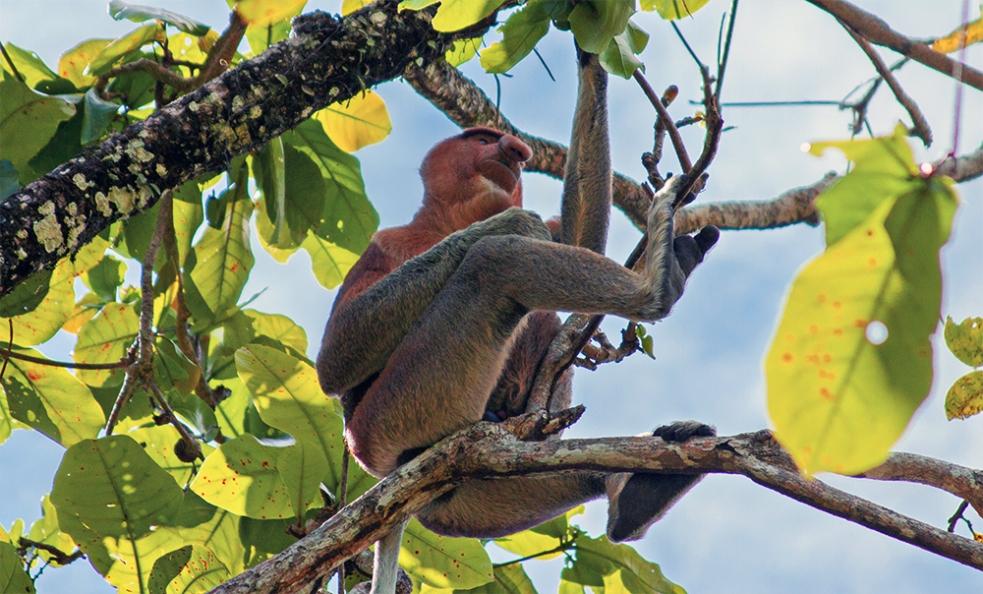 Mono proboscis en Borneo