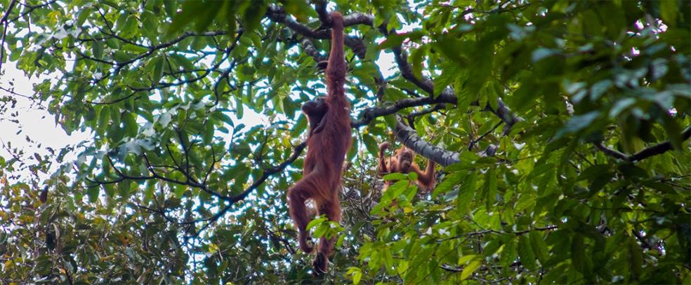 Orangutanes en la Reserva Natural de Semmengoh