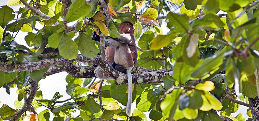 Mono proboscis en el Borneo
