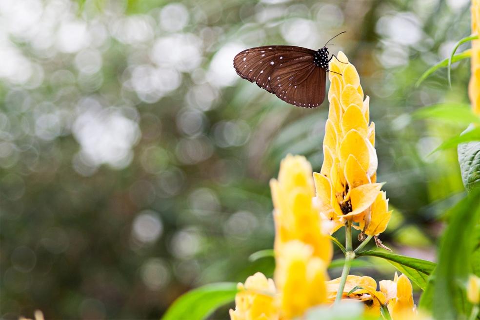 mariposas en Cameron Highlands